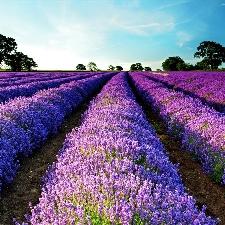 Levendula – A lila nyugalom